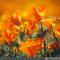 Escholtzia : une plante médicinale à avoir dans son jardin