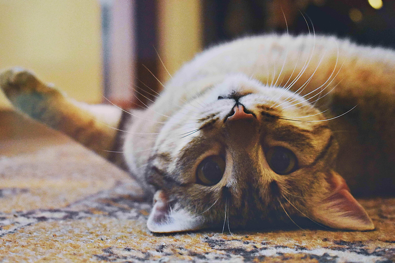 Chat tigré couché sur un tapis